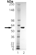 Annexin V (human), (recombinant) (GST-tag) SDS-PAGE