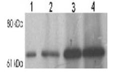 Munc-18 polyclonal antibody Western blot