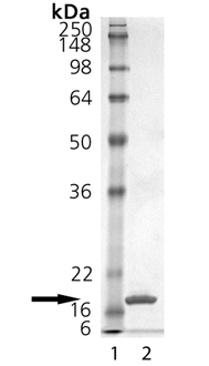 CD40L (soluble) (human), (recombinant) SDS-PAGE