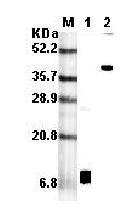 RELM-α (mouse) monoclonal antibody (MREL 384) Western blot