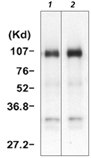 HGF/SF monoclonal antibody (A10) Immunoprecipitation