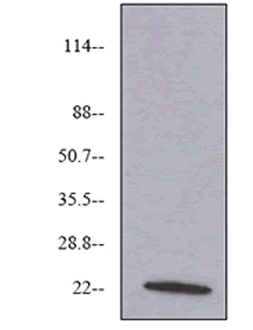 VEGF monoclonal antibody (6B7) Western blot
