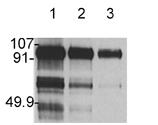 HGF/SF monoclonal antibody (7-2) Western blot