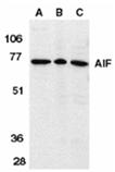 AIF (IN) polyclonal antibody Western blot