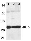 ARTS polyclonal antibody Western blot