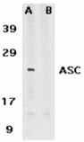 ASC polyclonal antibody Western blot