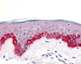 Apaf-1 (CT) polyclonal antibody Immunohistochemistry