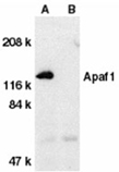 Apaf-1 (CT) polyclonal antibody Western blot