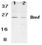 Bmf (NT) polyclonal antibody Western blot