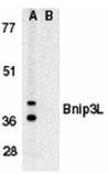 Bnip3L (IN) polyclonal antibody Western blot