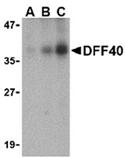 DFF40/CAD (IN) polyclonal antibody Western blot