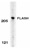 FLASH (CT) polyclonal antibody Western blot