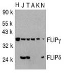FLIP γ/δ (CT) polyclonal antibody Western blot