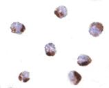 PHAP (NT) polyclonal antibody Immunocytochemistry