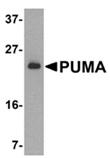 PUMA (NT) polyclonal antibody Western blot