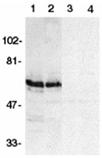 SODD (NT) polyclonal antibody Western blot