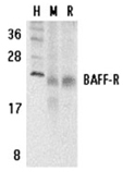 BAFF receptor (CT) BR3 polyclonal antibody Western blot