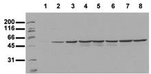 [pSer374]Fos monoclonal antibody (34E4) Western blot