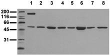 Fos monoclonal antibody (8B5) Western blot