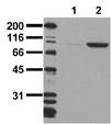 [pTyr1150/Tyr1151]Insulin receptor monoclonal antibody (10C3) Western blot