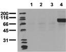 [pTyr1322]Insulin receptor monoclonal antibody (21G12) Western blot