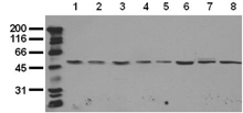Jnk1 monoclonal antibody (5D10) Western blot