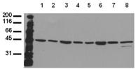 MKK7 monoclonal antibody (10F7) Western blot