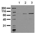 [pSer727]Stat1 monoclonal antibody (12C5) Western blot