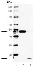 Caspase-2 monoclonal antibody (4-1-5) Western blot