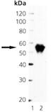 Pax3 monoclonal antibody (C2) Western blot