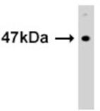SUV39H1 monoclonal antibody (42AT239.96.72) Western blot