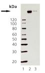 AIB1 monoclonal antibody (50B6) Western blot