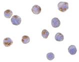 CTRP6 polyclonal antibody Immunocytochemistry