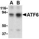 ATF6 polyclonal antibody Western blot