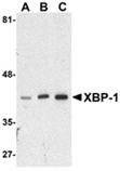 XBP-1 polyclonal antibody Western blot