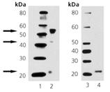 BMP4 monoclonal antibody (26H16) Western blot