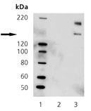 [pTyr783]PLC γ1 polyclonal antibody Western blot