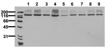 Raptor monoclonal antibody (10E10) Western blot