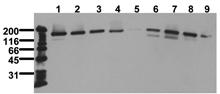 Rictor monoclonal antibody (1G11) Western blot