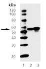 Chk1 monoclonal antibody (2G1D5) Western blot