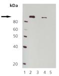 [pThr56]eEF2 polyclonal antibody Western blot