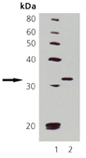 Cdk1/cdc2 monoclonal antibody (POH1) Western blot