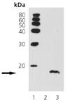[pSer10]Histone H3 polyclonal antibody Western blot