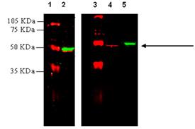 Angiotensin II receptor AT1 polyclonal antibody (DY-682 conjugate) Western blot