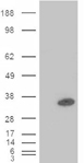 PDX1 monoclonal antibody (2A12) Western blot