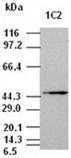 Jnk1 monoclonal antibody (1C2) Western blot