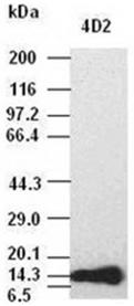 Fibroblast growth factor 1 monoclonal antibody (4D2) Western blot