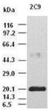 IL-6 monoclonal antibody (2C9) Western blot