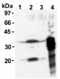 Msx2 monoclonal antibody (2E12) Western blot