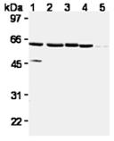 XIAP monoclonal antibody (2F1) Western blot